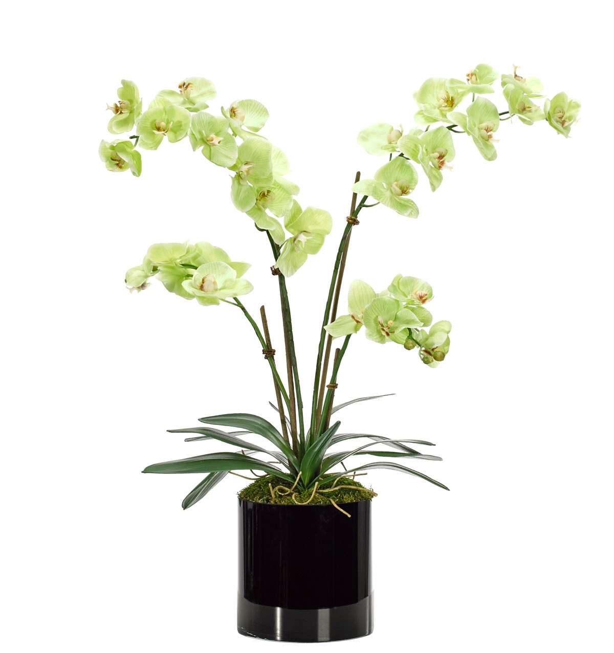 Orchid Phalaenopsis, Green, Glass Cylindr Black, 23wx21dx29h