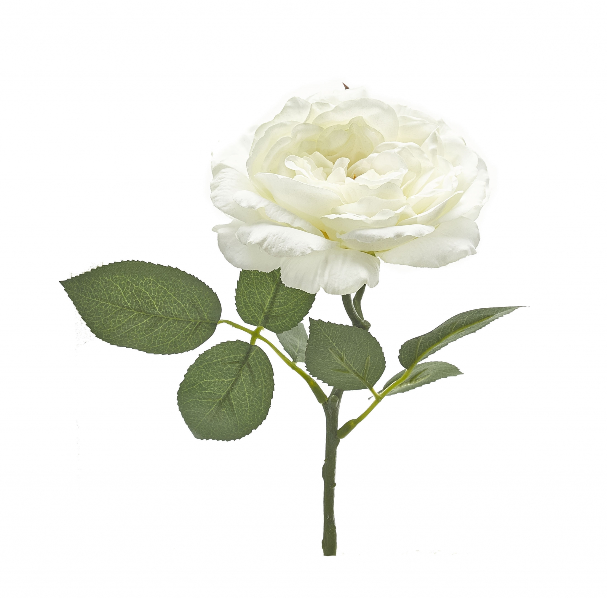 Rose White Sophia  | BOX OF 24