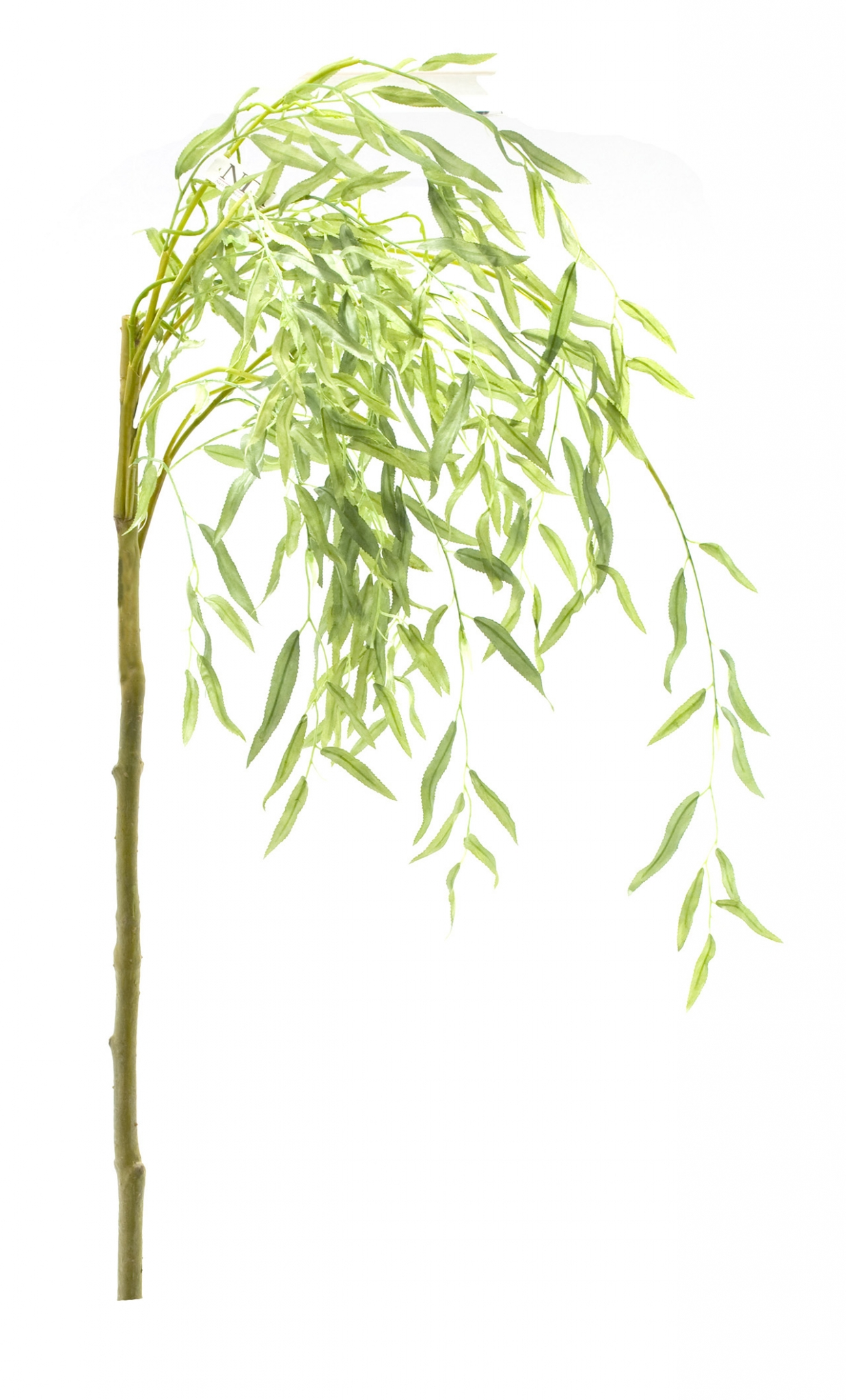 Weeping Willow Branch  | BOX OF 4