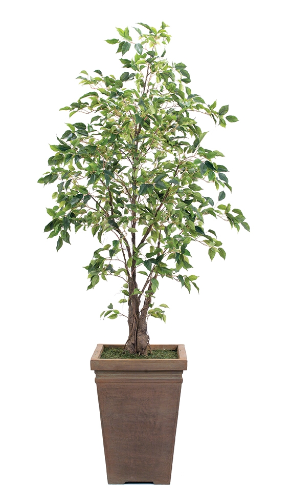 Ficus, shown in container option J, Square Planter Antique Clay, 42wx6.5'h