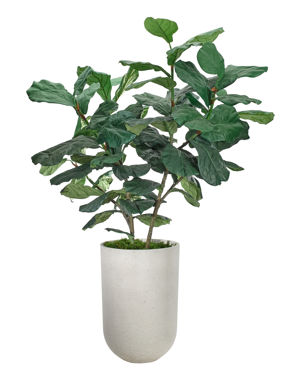 B/O JULY Fiddle Leaf, Concrete Finish Planter, 39wx44dx59h