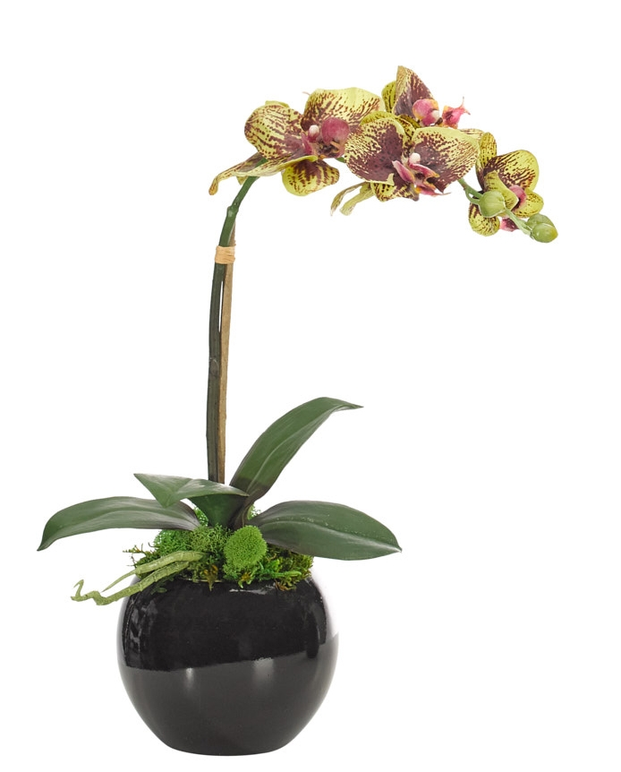 Orchid Phalaenopsis, Green Burgndy, Black Bowl, 13wx6dx15h