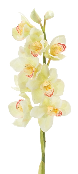 Orchid Cymbidium Cream Green | Box of 6