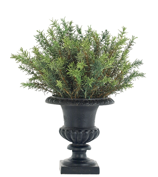 Rosemary Bush, Cast Iron Urn Black, 16wx15dx20h