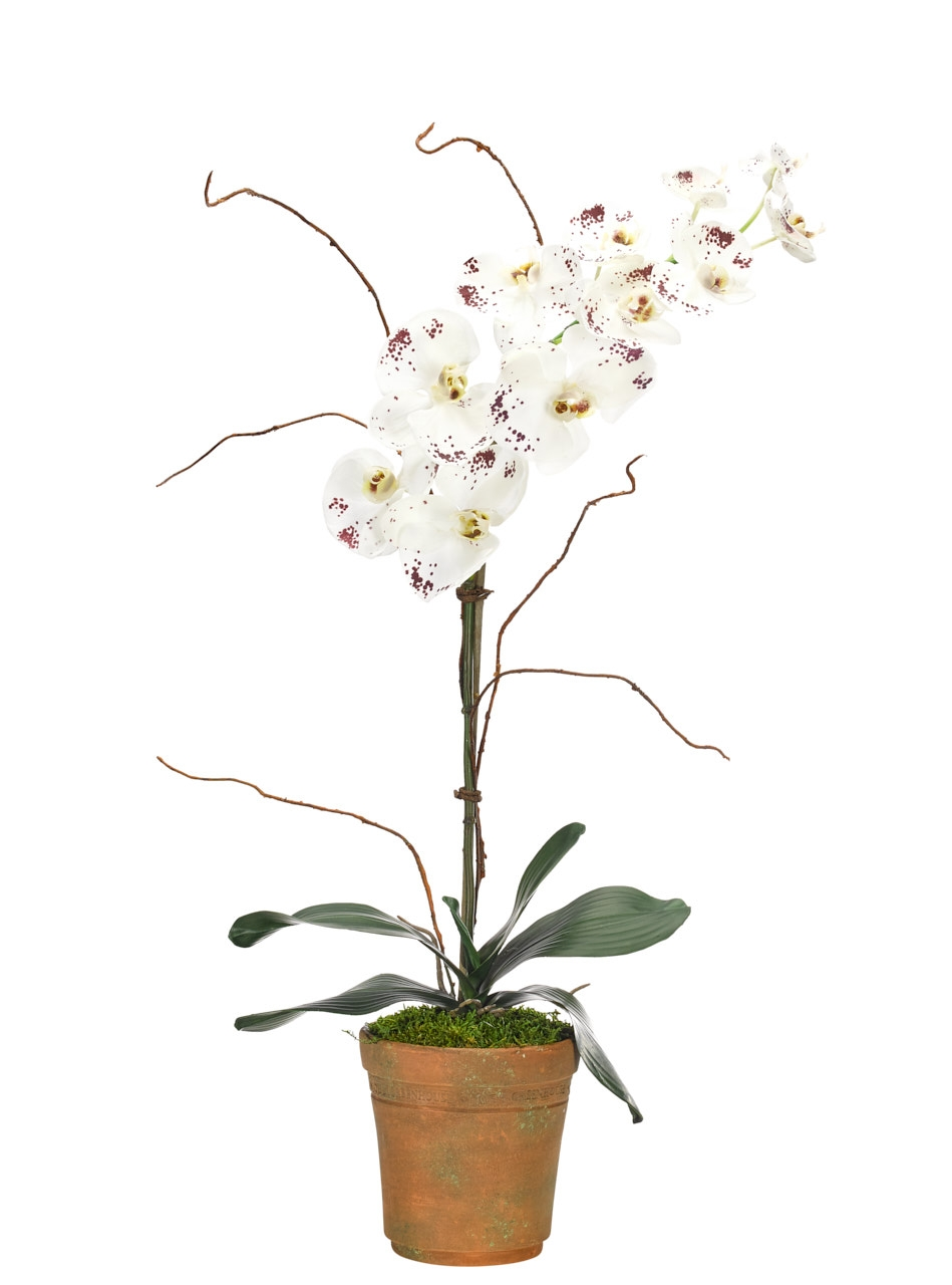 Orchd Phalaenopsis,White Burgundy,Terracotta Pot,21wx12dx32h
