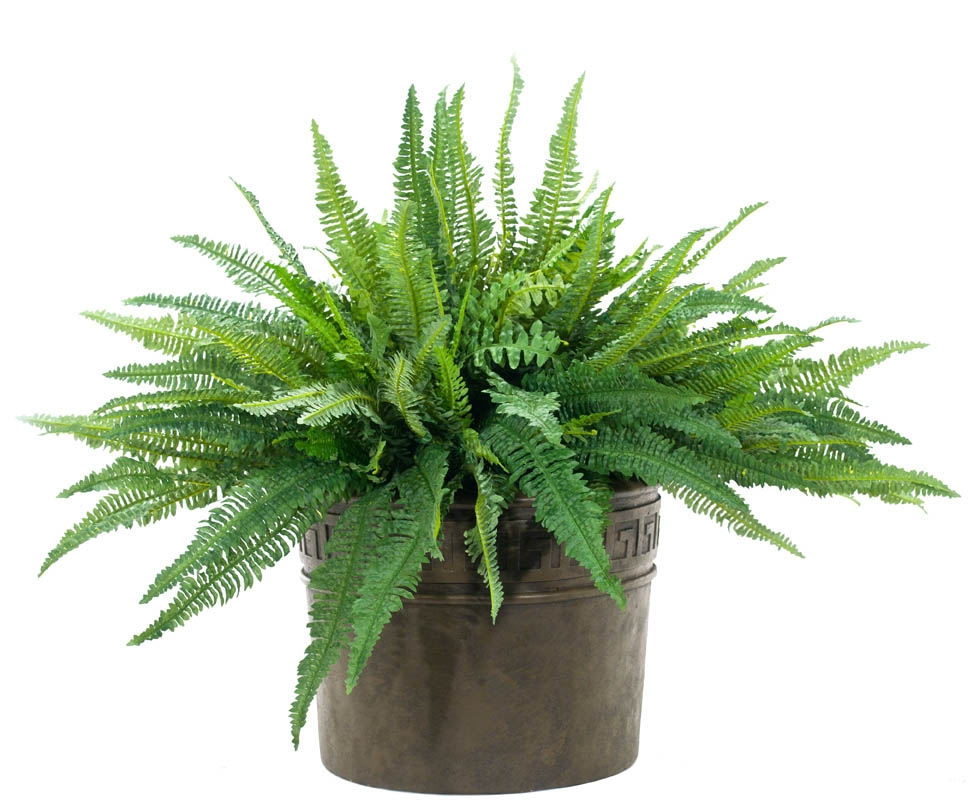 Boston Fern, Greek Key Planter Espresso, 48wx48dx36h