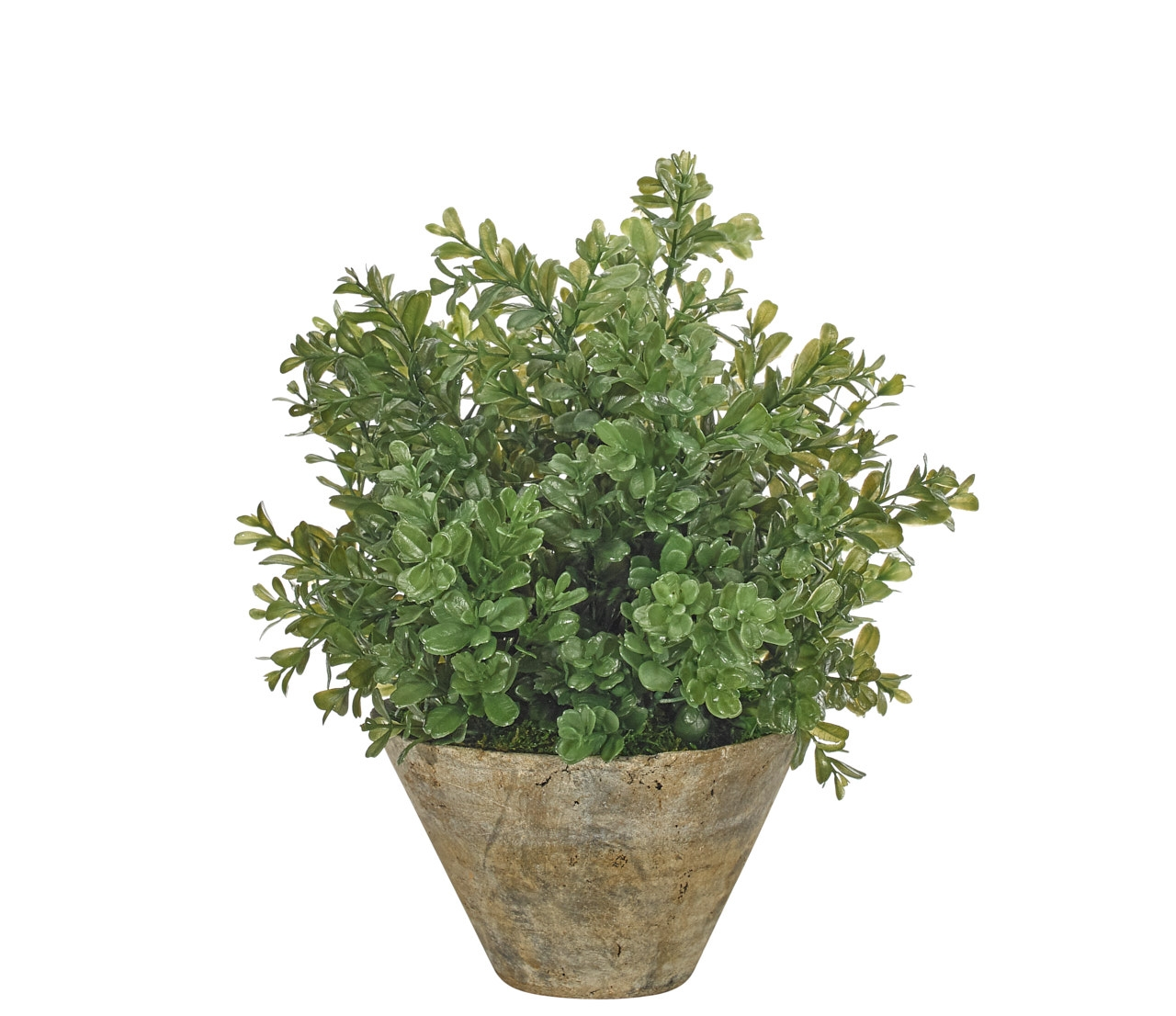 Boxwood Bush, Terracotta Pot, 13wx13dx15h